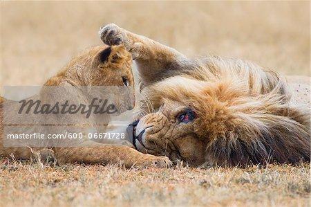 Male lion (Panthera leo) with cub, Maasai Mara National Reserve, Kenya