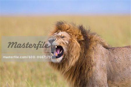 Big male lion (Panthera leo) showing Flehmen behavior, Maasai Mara National Reserve, Kenya