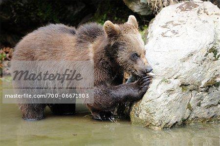 Young urasian Brown Bear (Ursus arctos arctos) near Rock in Water, Bavarian Forest, Bavaria, Germany