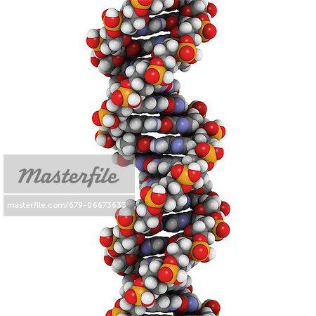 DNA (deoxyribonucleic acid), molecular model.