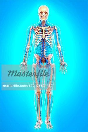 Human veins, computer artwork.