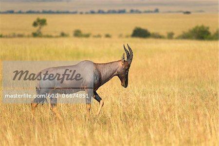 Korrigum (Damaliscus lunatus korrigum), Maasai Mara National Reserve, Kenya, Africa