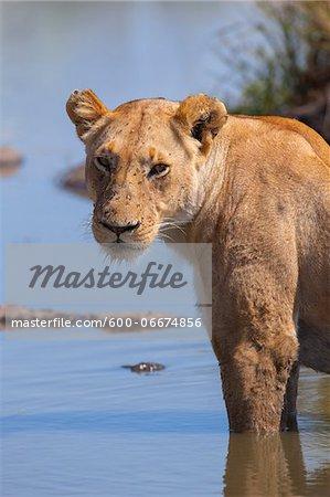 Lioness (Panthera leo) Standing in Water, Maasai Mara National Reserve, Kenya, Africa