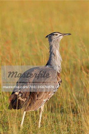 Male Kori Bustard (Ardeotis kori) Standing in Grass, Maasai Mara National Reserve, Kenya, Africa.