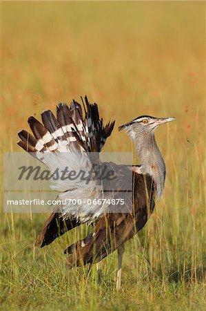 Male Kori Bustard (Ardeotis kori) Fanning Tail Feathers, Maasai Mara National Reserve, Kenya, Africa.