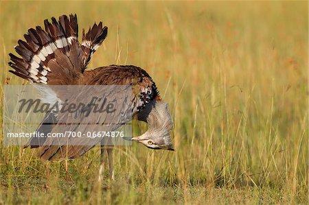 Male Kori Bustard (Ardeotis kori) Displaying Tail Feathers, Maasai Mara National Reserve, Kenya, Africa.