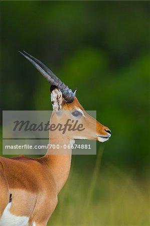 Close-up portrait of a young male impala antelope (Aepyceros melampus), Maasai Mara National Reserve, Kenya, Africa.
