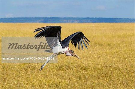 Marabou stork (Leptoptilos crumeniferus) in flight, Maasai Mara National Reserve, Kenya, Africa.