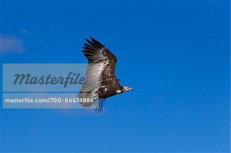 Hooded Vulture (Necrosyrtes monachus) in flight, Maasai Mara National Reserve, Kenya, Africa.