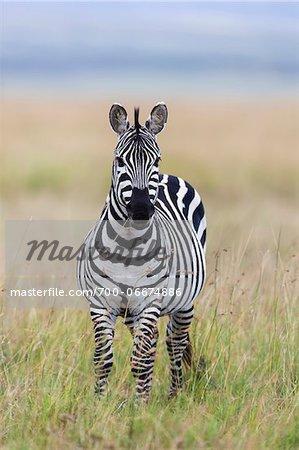 Zebra (Equus quagga) Standing on Grassland, Maasai Mara National Reserve, Kenya, Africa.