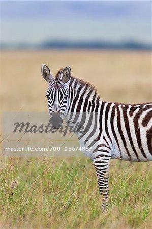 Zebra (Equus quagga) Standing on Grassland and Looking Towards Camera, Maasai Mara National Reserve, Kenya, Africa.