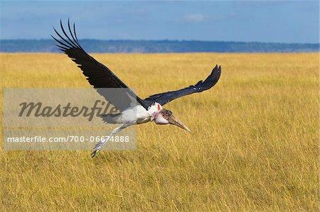 Marabou stork (Leptoptilos crumeniferus) in flight on the savanna, Maasai Mara National Reserve, Kenya, Africa.