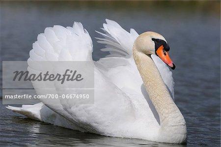 Mute Swan (Cygnus olor) swimming in the water, Bavaria, Germany