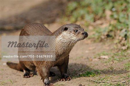 European otter (Lutra lutra) at riverside, Bavaria, Germany