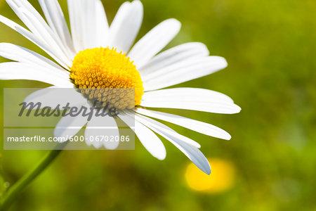 Close-up of White Oxeye Daisy (Leucanthemum vulgare), Germany