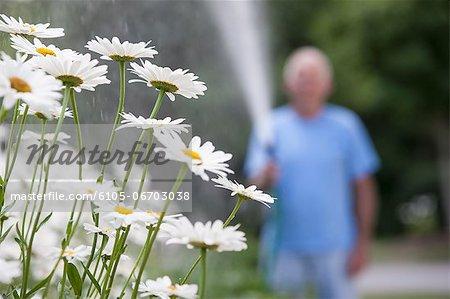 Senior man watering daisies in outdoor garden