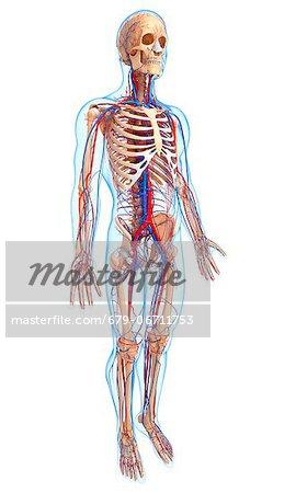 Cardiovascular system, computer artwork.