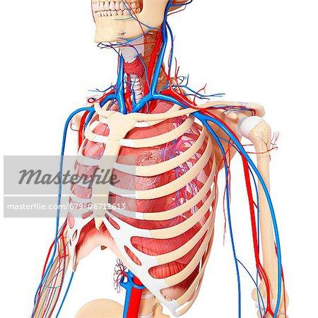 Chest anatomy, computer artwork.