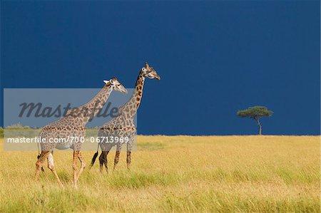 Masai giraffes (Giraffa camelopardalis tippelskirchi) in savanna just before rainstorm, Masai Mara National Reserve, Kenya, Africa.