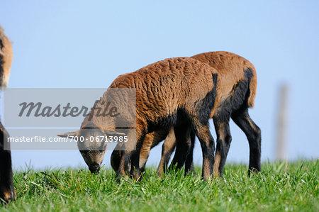 Cameroon sheep lambs on a meadow, Bavaria, Germany
