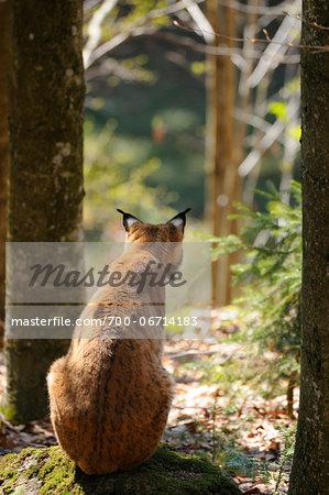 Eurasian lynx (Lynx lynx carpathicus) in the forest, Bavaria, Germany