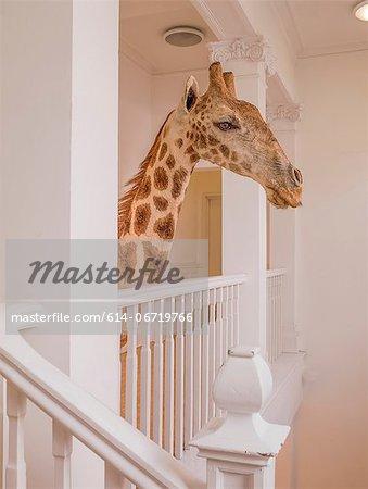 Taxidermied giraffe head in hallway