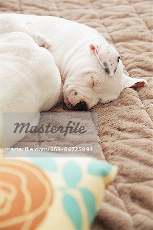 Staffordshire Bull Terrier sleeping on a carpet
