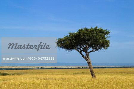Acacia Tree on the Savanna, Maasai Mara National Reserve, Kenya