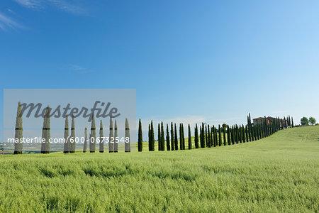Treelined Path (Cypress Trees) with Farmhouse. Val d´Orcia, Tuscany, Siena Province, Mediterranean Area, Italy.
