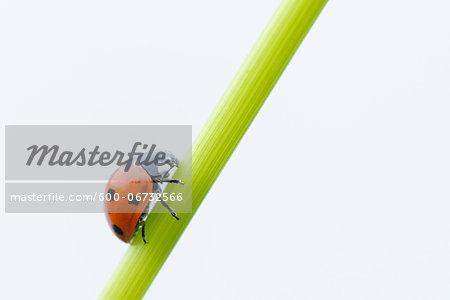 Seven Spot Ladybird (Coccinella septempunctata) white background. Bavaria, Germany.