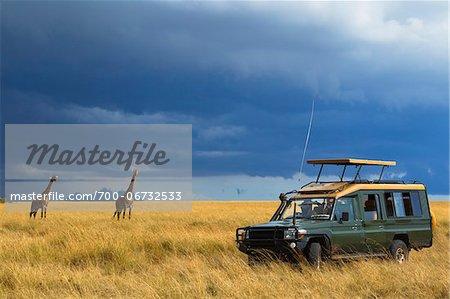 Masai giraffe (Giraffa camelopardalis tippelskirchi) and safari jeep in the Maasai Mara National Reserve, Kenya, Africa.