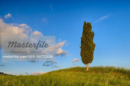 Cypress tree in green field. Pienza, Val d´Orcia, Tuscany, Italy.