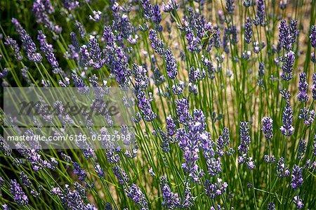 Lavender Field In Summer, Croatia, Dalmatia, Europe