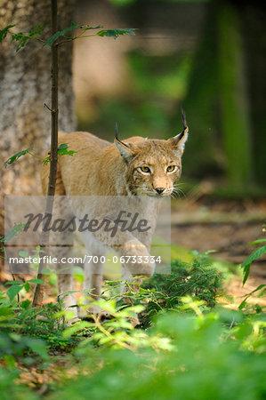 Eurasian lynx (Lynx lynx) walking in the forest, Bavaria, Germany