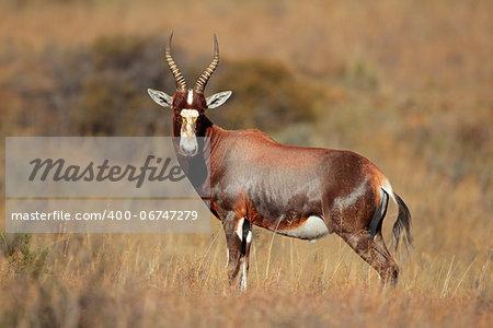 A blesbok antelope (Damaliscus pygargus), South Africa