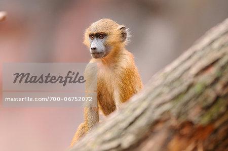 Guinea baboon (Papio papio) young in Zoo