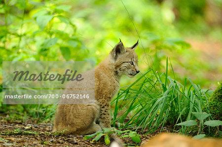 Eurasian lynx (Lynx lynx) cub in the forest, Hesse, Germany