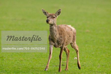 Red deer (Cervus elaphus) female standing in clearing, Bavaria, Germany