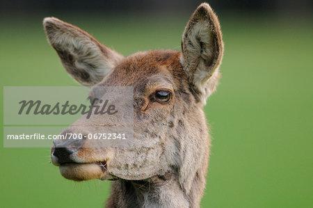 Close-up portrait of a Red deer (Cervus elaphus) female, Bavaria, Germany