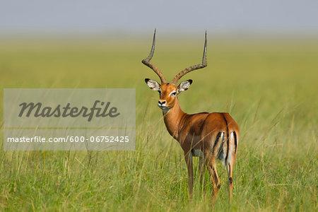 Impala (Aepyceros melampus) Standing in Grass, Maasai Mara National Reserve, Kenya, Africa