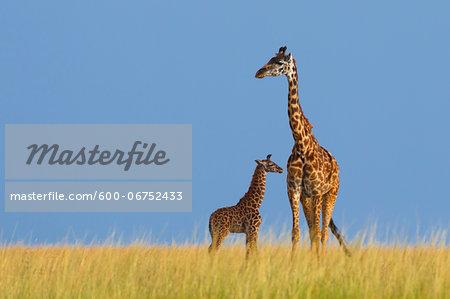Masai Giraffe (Giraffa camelopardalis tippelskirchi), Mother with Calf, Maasai Mara National Reserve, Kenya, Africa