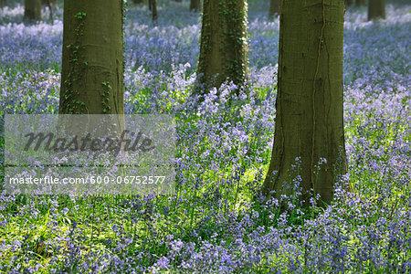 Beech Tree Trunks with Bluebells in Spring, Hallerbos, Halle, Flemish Brabant, Vlaams Gewest, Belgium