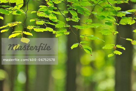 Beech Leaves in Spring, Hallerbos, Halle, Flemish Brabant, Vlaams Gewest, Belgium