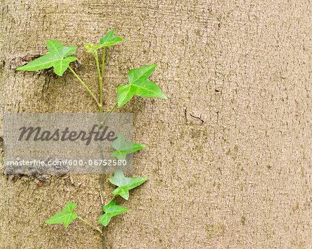 Ivy Growing on Beech Tree Trunk in Spring, Hallerbos, Halle, Flemish Brabant, Vlaams Gewest, Belgium