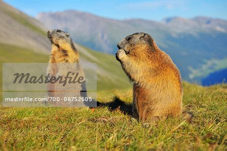 Alpine Marmots, Marmota marmota, Hohe Tauern National Park, Grossglockner High Alpine Road, Carinthia, Austria, Europe
