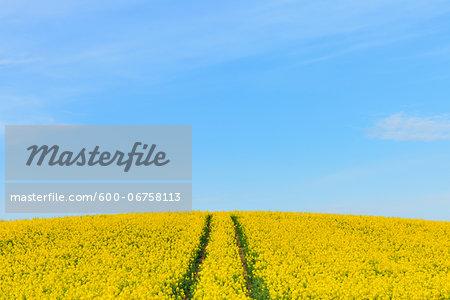 Canola Field with Tracks in Spring, Grossostheim, Lower Franconia, Bavaria, Germany