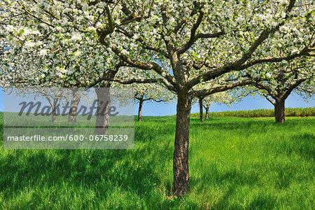 Blossoming Apple Trees in Spring, Monchberg, Spessart, Bavaria, Germany