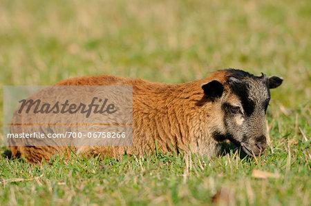 Cameroon sheep lamb on a meadow, Bavaria, Germany