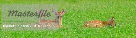 Group of Red Deer (Cervus elaphus) Fawns Lying in Grass, Bavaria, Germany
