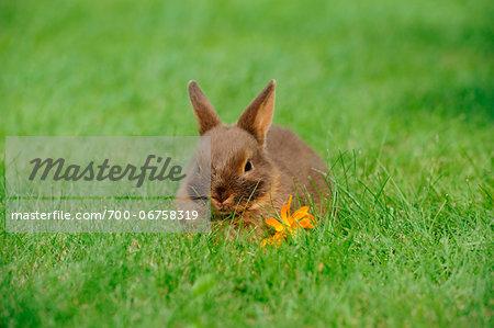 Netherland Dwarf young rabbit on a meadow, Bavaria, Germany
